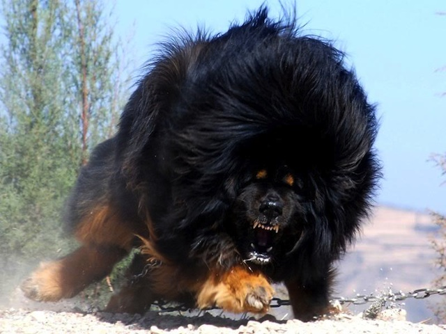 Dark Tibetan Mastiff Worlds Most Expensive Dog: Tibetan Mastiff