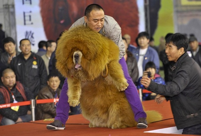 Friendly and Lazy Tibetan Mastiff Worlds Most Expensive Dog: Tibetan Mastiff