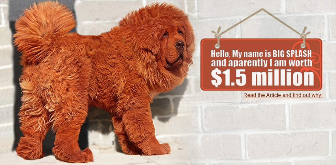 World's Most Expensive Dog ~ Damn Cool Pictures  |Worlds Most Expensive Cane