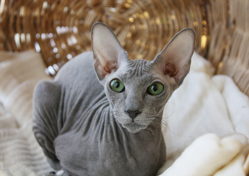 Most Expensive Cat Breeds In The World: 5. Peterbald $1000 – $5,000