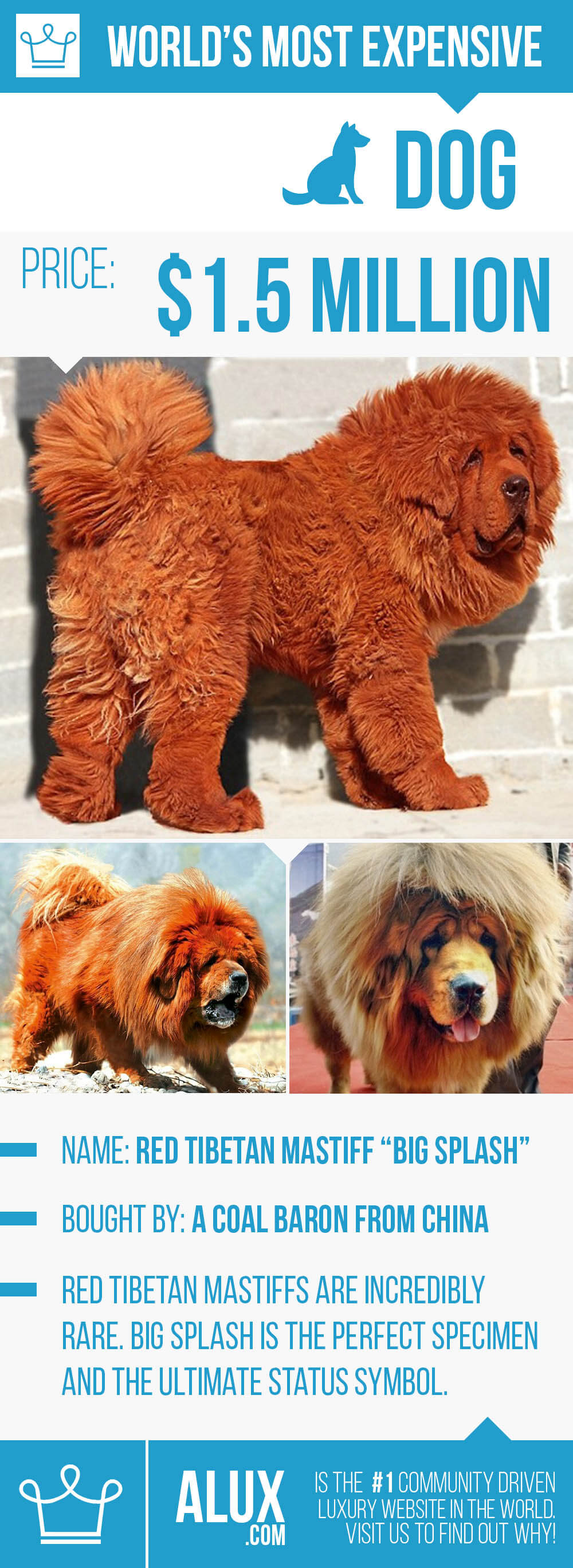 most expensive dog in the world ealuxe alux red tibetan mastiff price how much pictures infographic