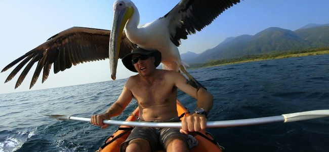 This Kindhearted Man Teaches A Rescued Pelican How To Fish On His Own