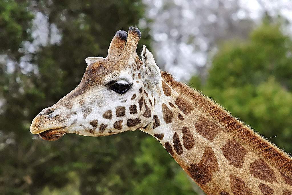 1024px-Giraffe08_-_melbourne_zoo_edit