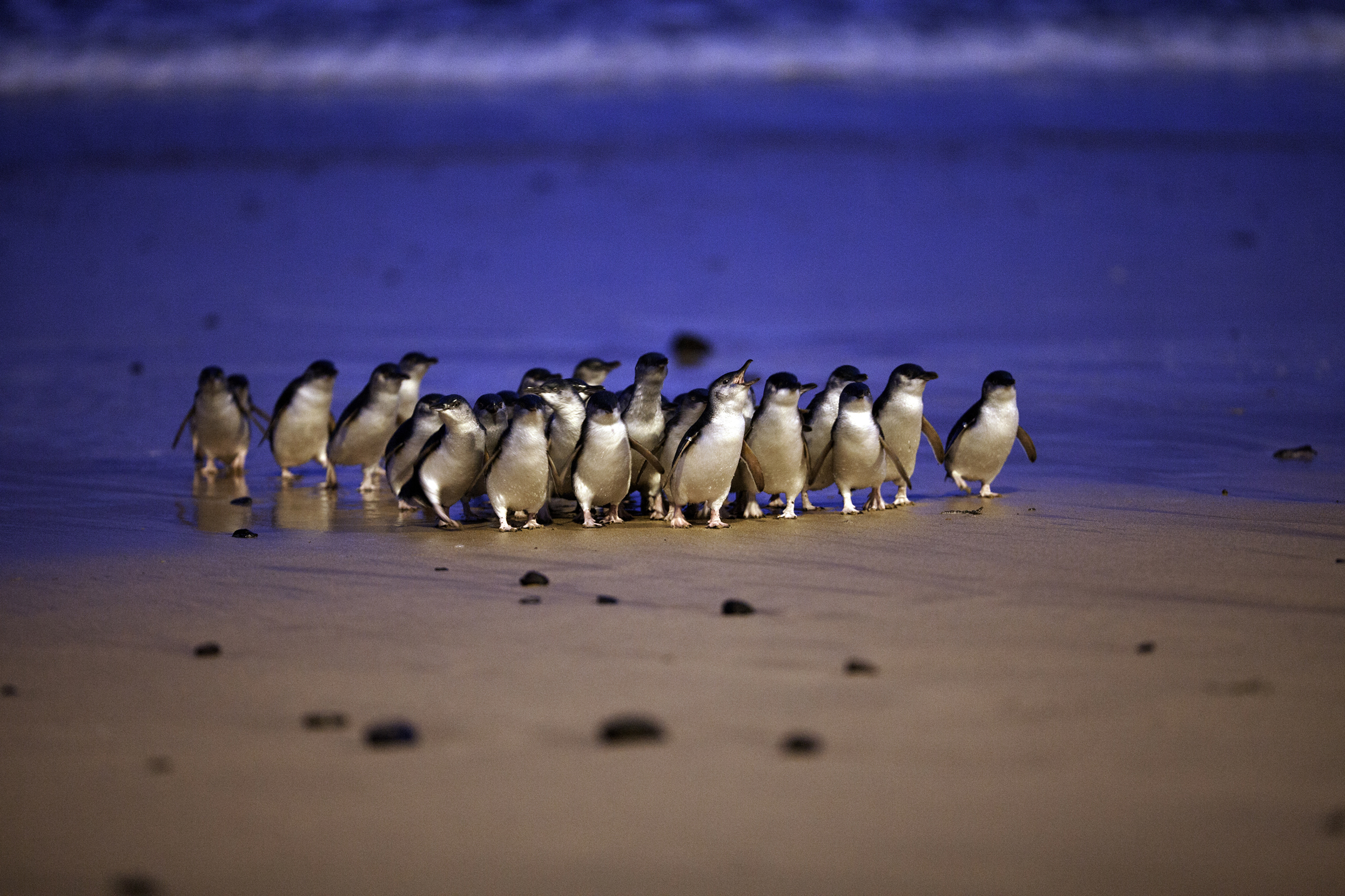 Penguin Parade | Best Places To Visit: Melbourne, Australia