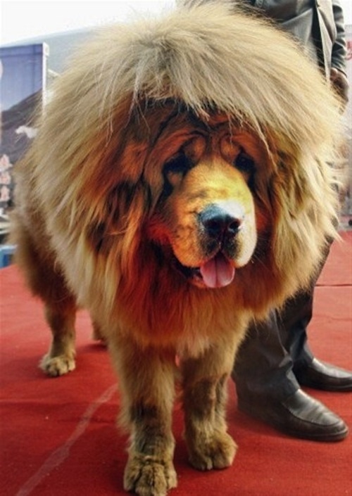 Red Carpet Hair Style Worlds Most Expensive Dog: Tibetan Mastiff