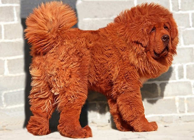 Big Splash - Worlds Most Expensive Dog: Tibetan Mastiff