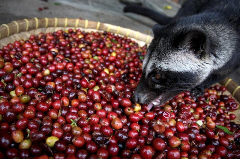 World's Most Expensive Coffee: Luwak eating Coffee Cherries