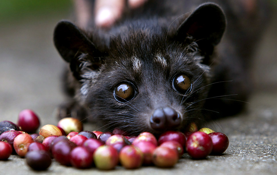 Indonesians Farm Civet Cats To Produce World's Most Valuable Coffee What is the Most Expensive Coffee In The World?
