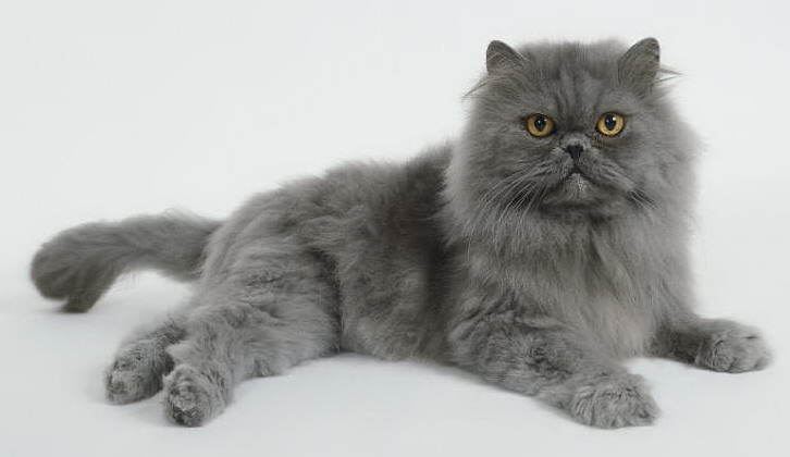 Most Expensive Cat Breeds In The World: 4. Persian $1,000 – $6.000
