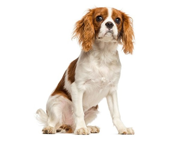 World's Most Expensive Dog Breeds:#2 Cavalier King Charles Spaniel ~ Cost: $1,000 - $14,000