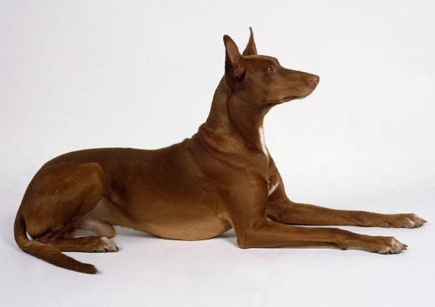 World's Most Expensive Dog Breeds:  #5 Egyptian Pharaoh Hound ~ Cost: $2,500 - $6,500