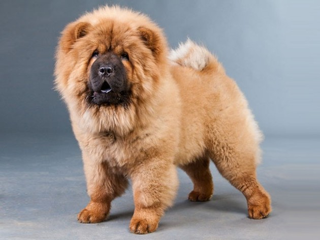 World's Most Expensive Dog Breeds: #3 Chow Chow ~ Cost: $3,000 - $8,500