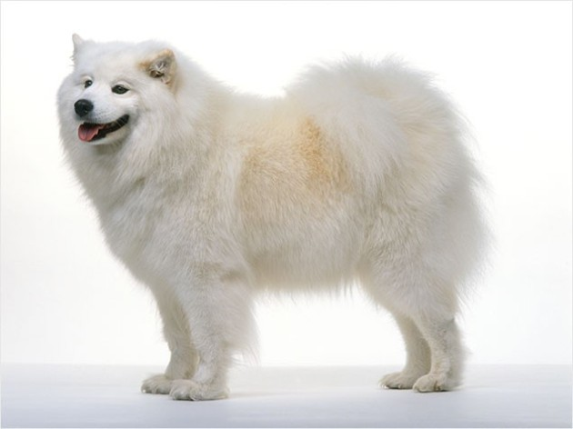 World's Most Expensive Dog Breeds: #1 Samoyed ~ Cost: $4,000 - $11,000