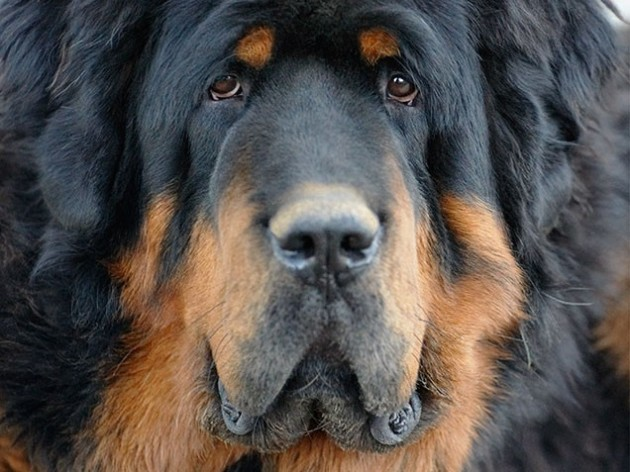 World's Most Expensive Dog Breeds: #4 Tibetan Mastiff ~ Cost: $3,000 - $7,000