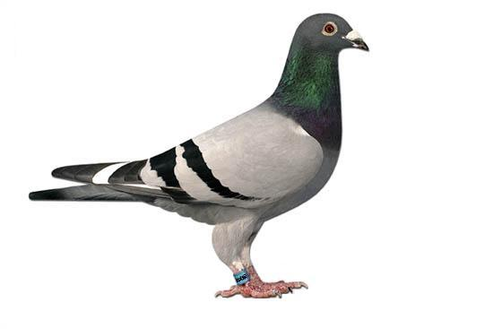 most expensive bolt racing pigeon