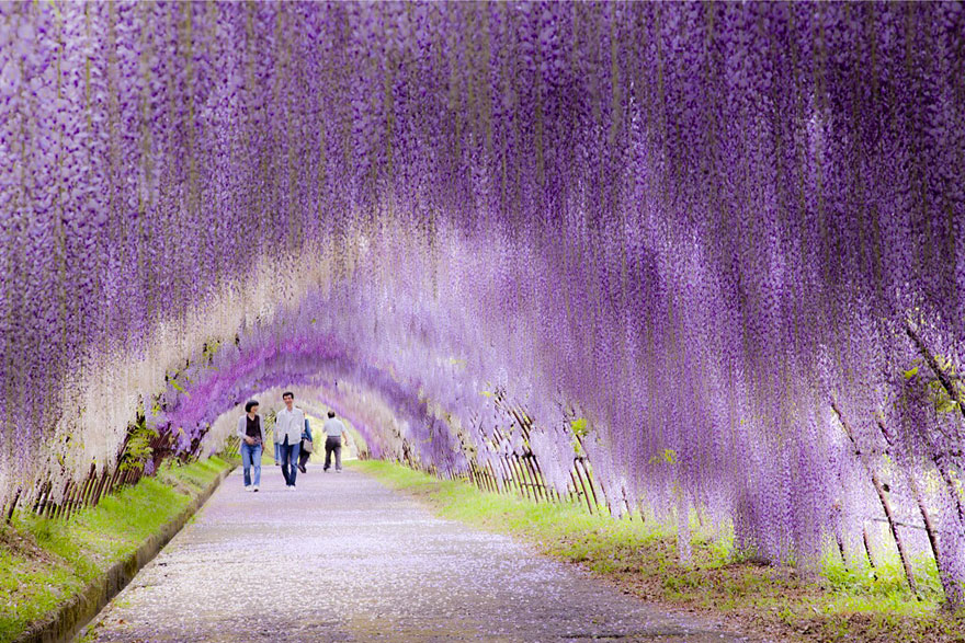 Unreal Looking Places Around The World Wisteria-Flower-Tunnel-Japan2