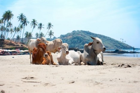 Cow Beach, Goa, India Unusual Beaches Around The World