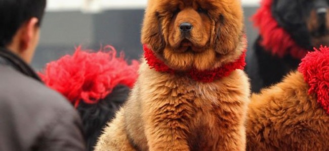gifts for rich people tibetan mastiff
