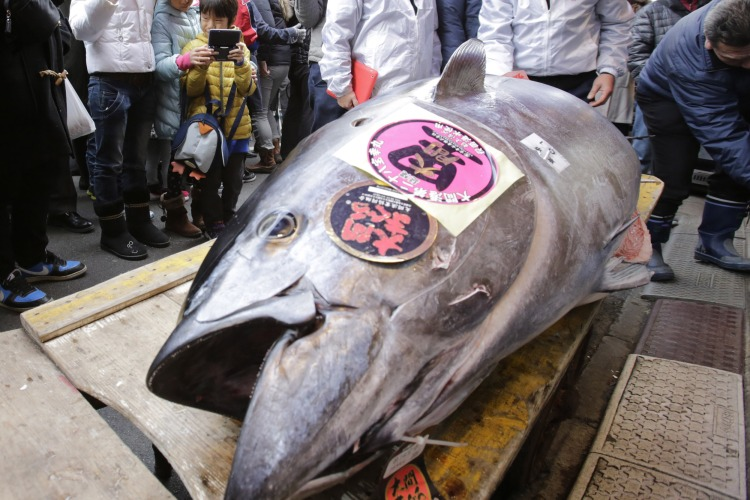 Most Expensive Fish in the World Bluefin Tuna