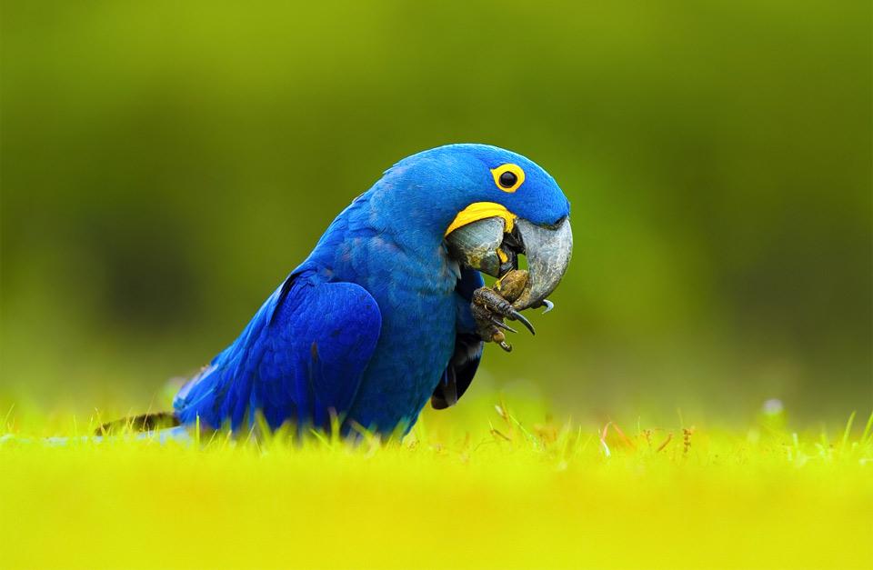 Most Expensive Pets In The World - Hyacinth macaw