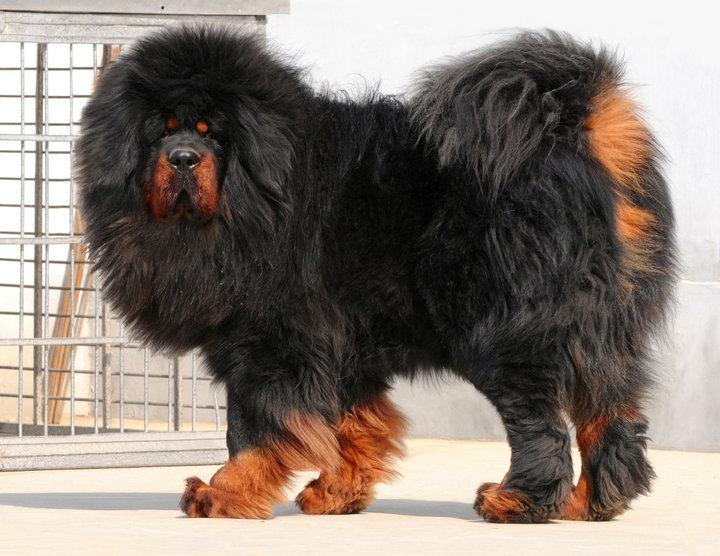 Most Expensive Pets In The World - Tibetan Mastiff