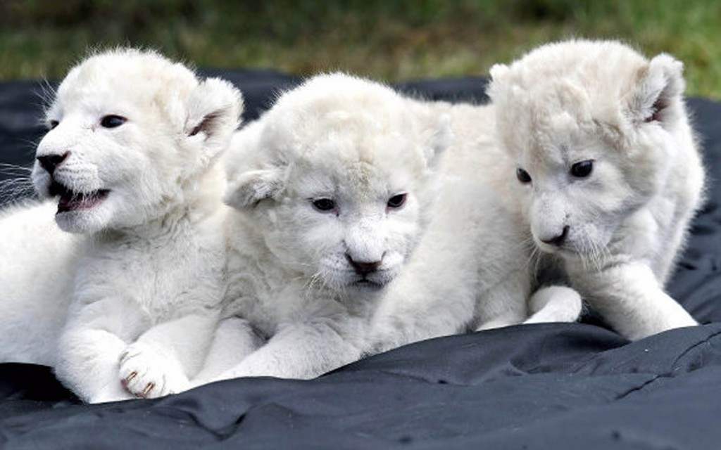 Most Expensive Pets In The World - White lion cubs