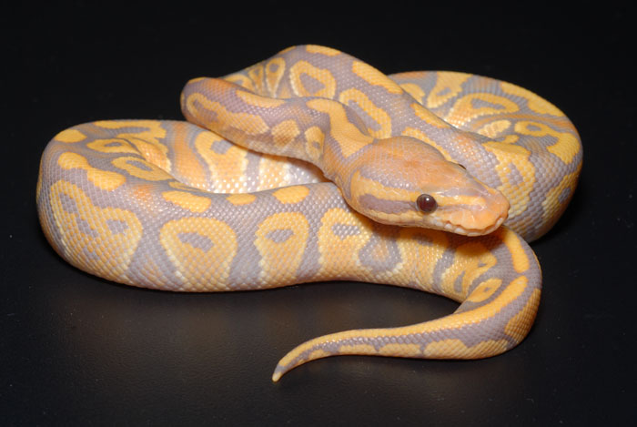 Most Expensive Pets In The World-avender Albino Ball Python