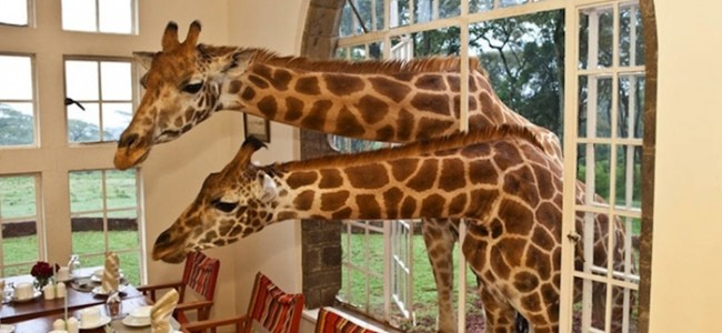 Best Safari Holiday | Giraffe Manor Offers You An Unique Experience