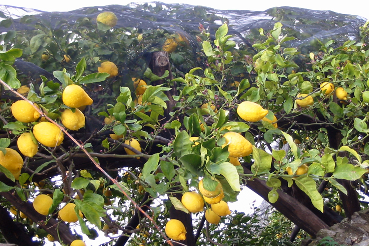 World's Most Expensive Lemons 7
