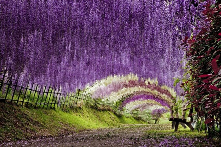 You Have to Visit These Marvelous Places to Believe They Actually Exist | Wisteria Flower Tunnel, Japan