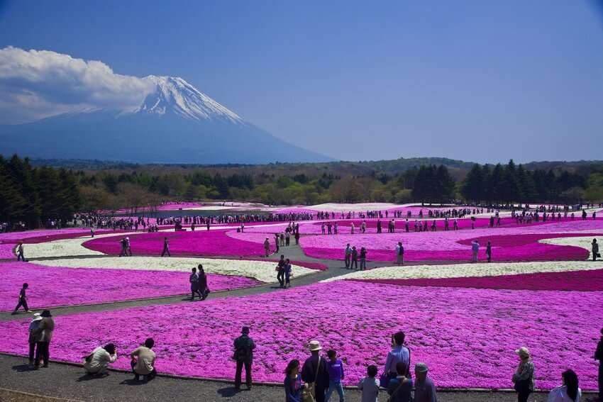 You Have to Visit These Marvelous Places to Believe They Actually Exist | Shibazakura Flowers, Japan