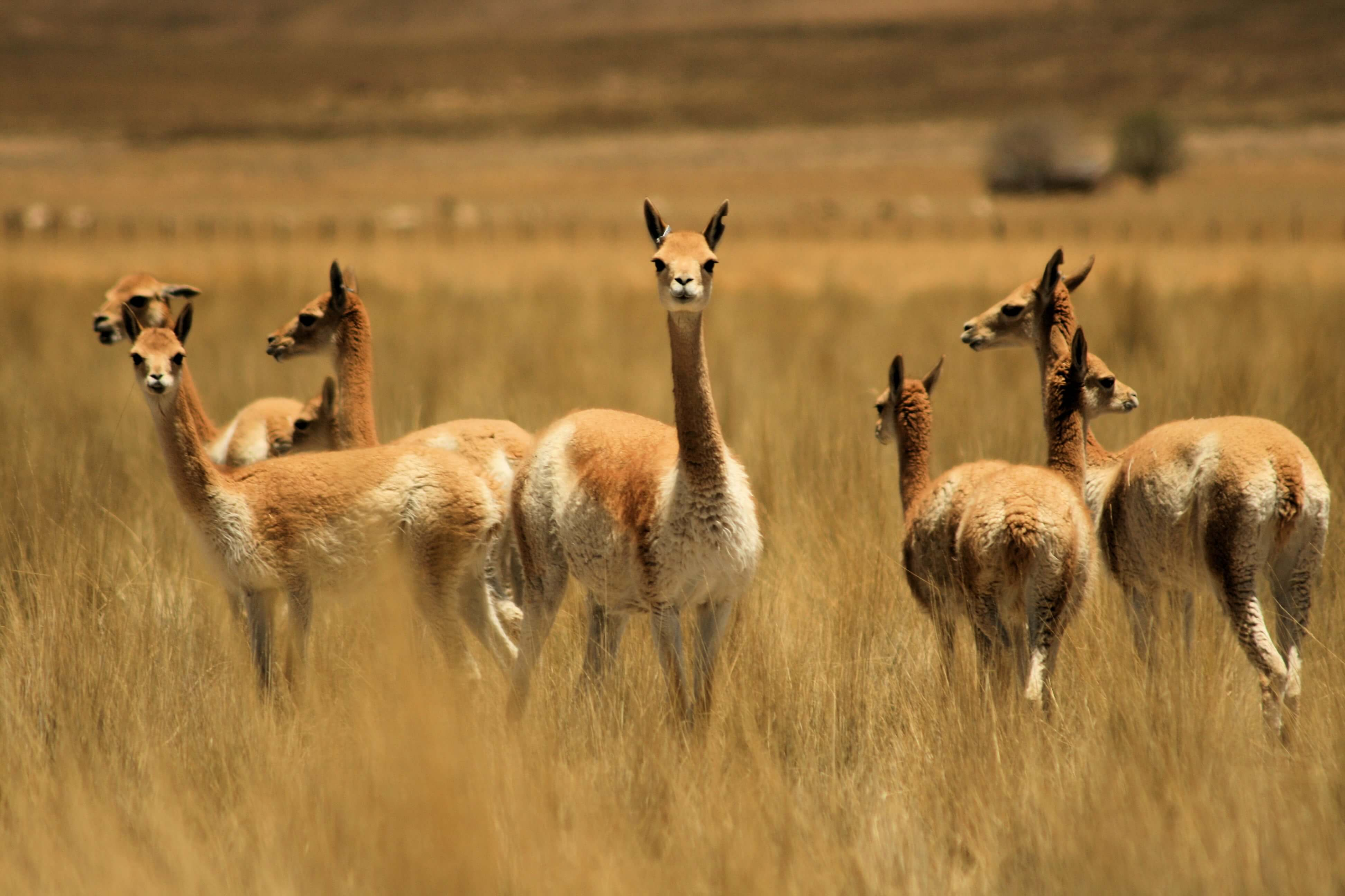 Finest fabric in the world; Vicunas