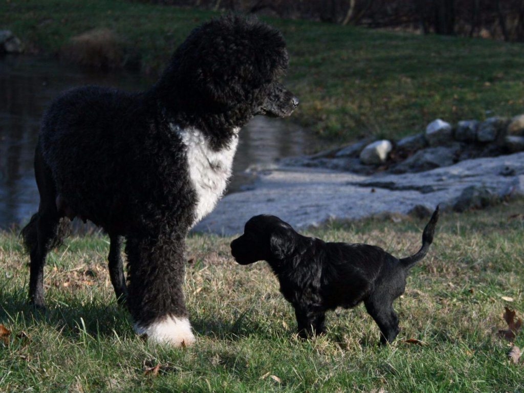 15 Most Expensive Dog Breeds in the World | #2. Portuguese Water Dog (Average Puppy Price: $2,500 - $2,800)