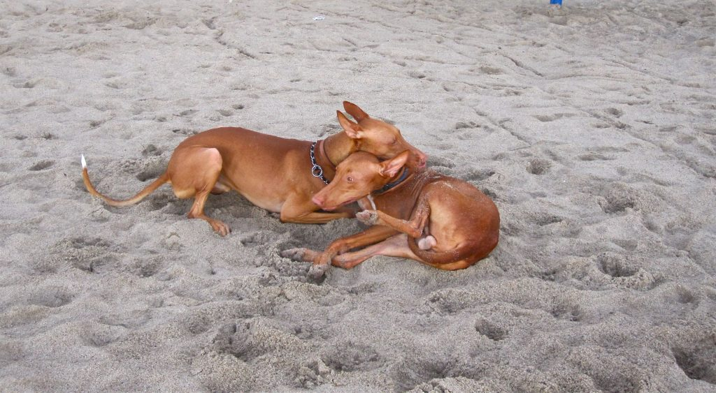 15 Most Expensive Dog Breeds in the World | #5. Pharaoh Hound (Average Puppy Price: $1,800 - $2,000)