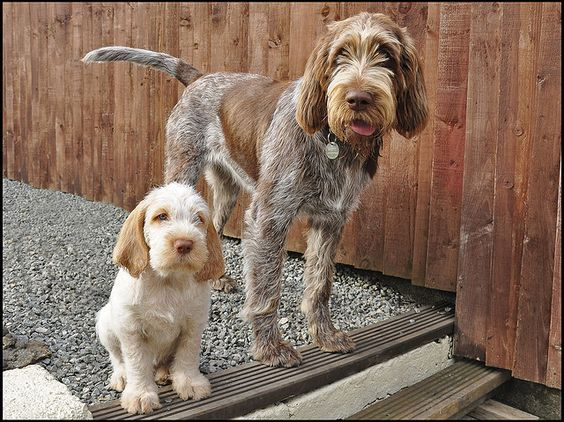 15 Most Expensive Dog Breeds in the World | #7. Spinone Italiano (Average Puppy Price: $1,500 - $2,000)