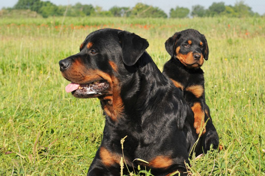 15 Most Expensive Dog Breeds in the World | #10. Rottweiler (Average Puppy Price: $1,200 - $2,000)