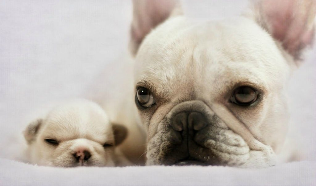 15 Most Expensive Dog Breeds in the World | #3. French Bulldog (Average Puppy Price: $2,000 - $4,000)