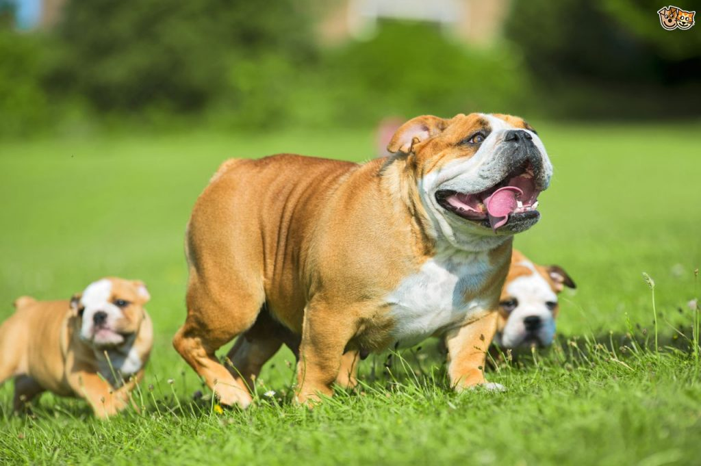 15 Most Expensive Dog Breeds in the World | #11. Bulldog (Average Puppy Price: $1,200 - $2,000)