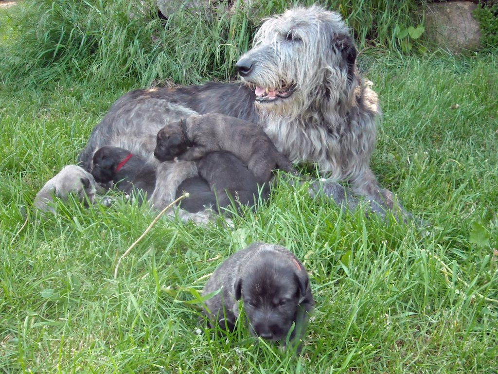15 Most Expensive Dog Breeds in the World | #6. Irish Wolfhound (Average Puppy Price: $1,800 - $2,000)