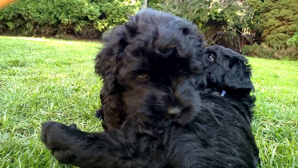 15 Most Expensive Dog Breeds in the World | #4. Black Russian Terrier (Average Puppy Price: $1,800 - $2,500)