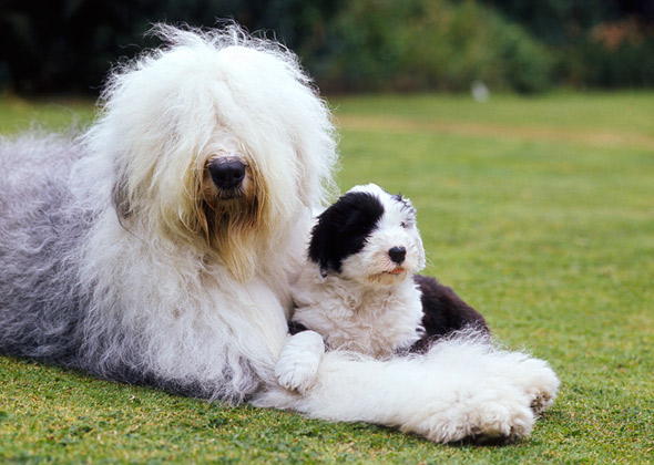 15 Most Expensive Dog Breeds in the World | #13. Old English Sheepdog (Average Puppy Price: $1,200 - $1,500)