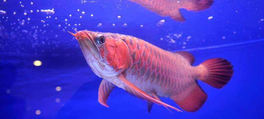 This is the world s most expensive pet fish you can t have for Most expensive pet fish