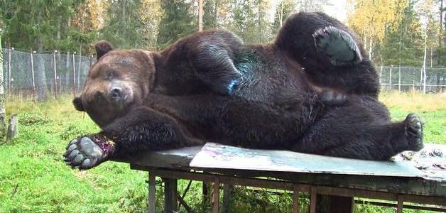 Juuso the Bear Makes Paintings With its Paws that are selling for 4000 Euros