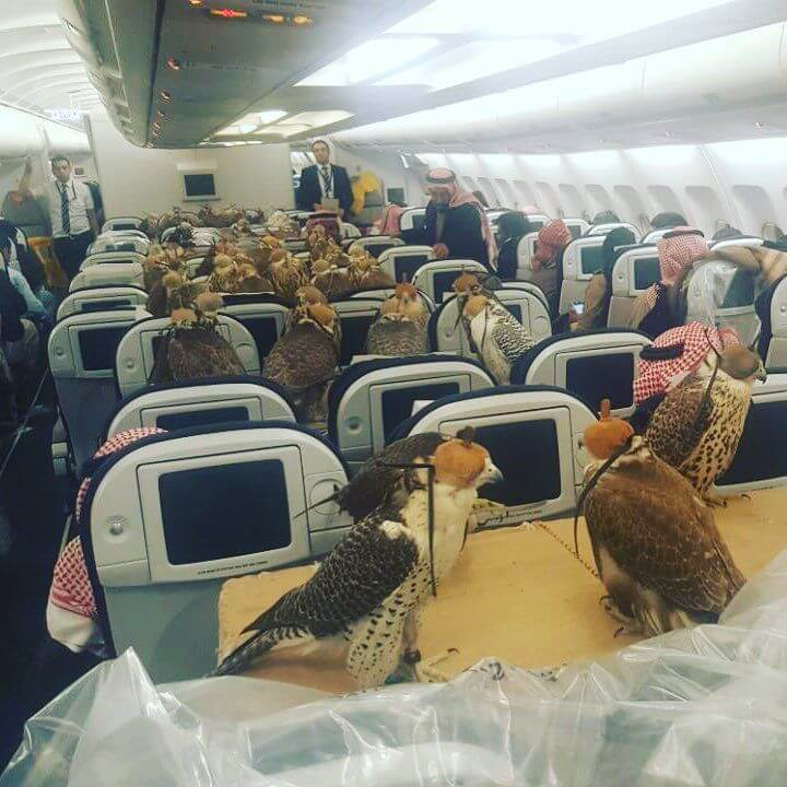 Saudi Prince Bought Plane Tickets for his 80 Falcons & Everyone Seemed Pretty chill about it!