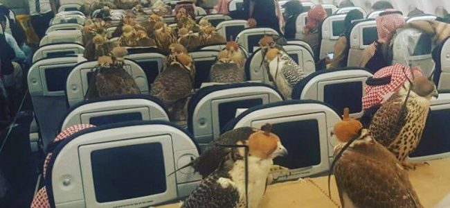Some Wealthy Person Bought a Plane Seat for Each of His 80 Falcons