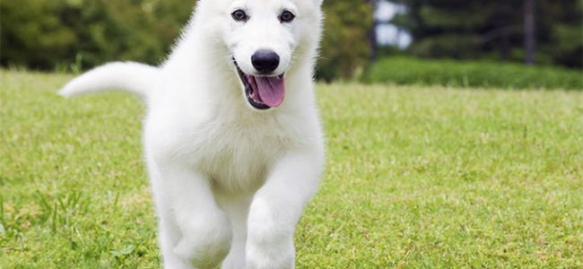 7 Most Expensive Dogs Breeds to Buy