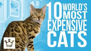 10 Most Expensive Cat Breeds In The World